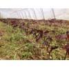 挪威槭,挪威槭黄金枫,夕阳红-十月光辉,红叶复叶槭
