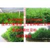 红豆杉苗木批发基地