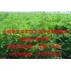 红豆杉营养袋苗成活率高