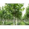 济宁法桐树供应苗圃,法桐树小苗图片,价格优惠