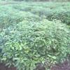 江西香樟小苗、一年生50公分高香樟苗价格