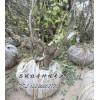 百年牡丹树