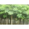合欢树-合欢|合欢树价格|合欢树苗