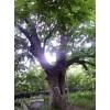 七叶树古树