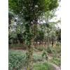 供应造型树,造型树销售基地,各种造型树批发销售中