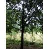 红豆杉,红豆杉树价格表,四川红豆杉种植基地