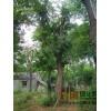 三角枫价格,三角枫苗木基地,三角枫栽培种植管理