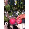红肉苹果盆景