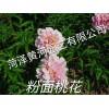 粉面桃花芍药