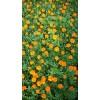 橙色孔雀草