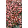 红叶红海棠