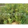 桂花 苗木批发 大量萧山苗木 园艺 杭州市政园林