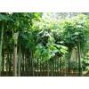 法桐.国槐、栾树、合欢、垂柳、白腊 13608913832