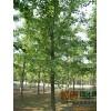 山东郯城实生银杏树与嫁接银杏树的优缺点以及区别