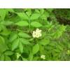 辽宁省台安县雅美花卉种植园供应金叶接骨木、朝鲜黄杨