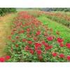四季玫瑰多少钱-吉林省九台市旭阳苗圃,四季玫瑰小苗多少钱?