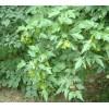 大量直供丛生三角枫 茶条槭枫 绿化从条戚 绿化苗木 东北野生观赏树木驯化繁育基地