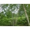 白桦小苗 丛生白桦 各种规格白桦小苗 东北野生观赏树木驯化繁育基地