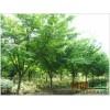 长期供应鸡爪槭 绿化小苗 行道树 鸡爪枫 规格全5 8-10公分