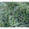 长年供应(大/中/小)叶麦冬草,鸢尾/蝴蝶兰、日本矮麦冬玉龙草