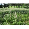 四川麦冬种植基地、麦冬草批发、麦冬苗批发、麦冬苗、精品麦冬