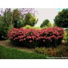 红花八宝景天