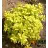 金山秀线菊