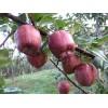 早酥红梨种苗