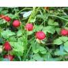 蛇莓/蛇莓/蛇莓种子