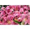 凯盛宿根花卉苗圃供应百合、13942240550供应百合,百合花种植