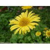 菊花种苗,凯盛宿根花卉苗圃菊花,立体花坛,13942240550