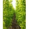 常年大量出售:金叶复叶槭、丛生金叶复叶槭、红叶复叶槭米径3cm