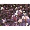 紫叶风箱果