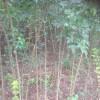 丛生三角枫