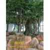广州市锦润园林仿真榕树制作方法