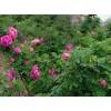 四季玫瑰-品种多价格低,新疆玫瑰基地,新疆玫瑰网18709050873