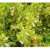 金边冬青 花叶黄杨 规格多样常绿灌木大小叶黄杨绿篱绿化