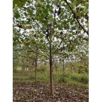 马褂木价格14公分15公分16公分价格多少一棵