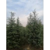 雪松树最新价格
