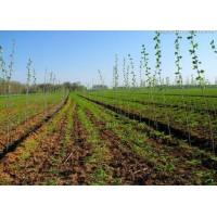供应油用牡丹(紫斑 凤丹)(1-5年苗,种子)