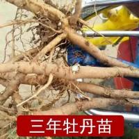 供应盆栽牡丹--春节催花牡丹、含出口品种