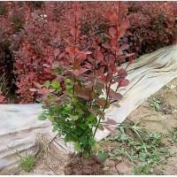 河南红叶小檗,红叶小檗基地,洛阳红叶小檗价格,鄢陵红叶小檗