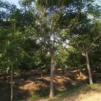 胸径12公分粗合欢树  8公分合欢树的价格 合欢树