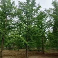 18公分易管理根系发达规格齐全银杏树 银杏树,银杏树工程苗