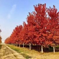 15cm美国红枫报价-美国红枫工程苗,美国红枫,红枫基地