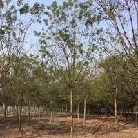 基地供应8公分国槐 国槐树价格多少