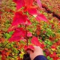 最新美国红枫的价格-优质美国红枫-邳州美国红枫报价