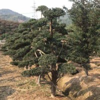罗汉松造型树