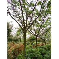 10公分合欢树苗价格 合欢树基地 江苏文森苗木供应精品合欢树