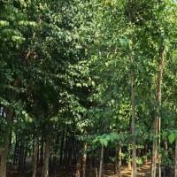 现挖现卖园林绿化苗木丛生丝棉木 新天地苗圃 500亩丝棉木